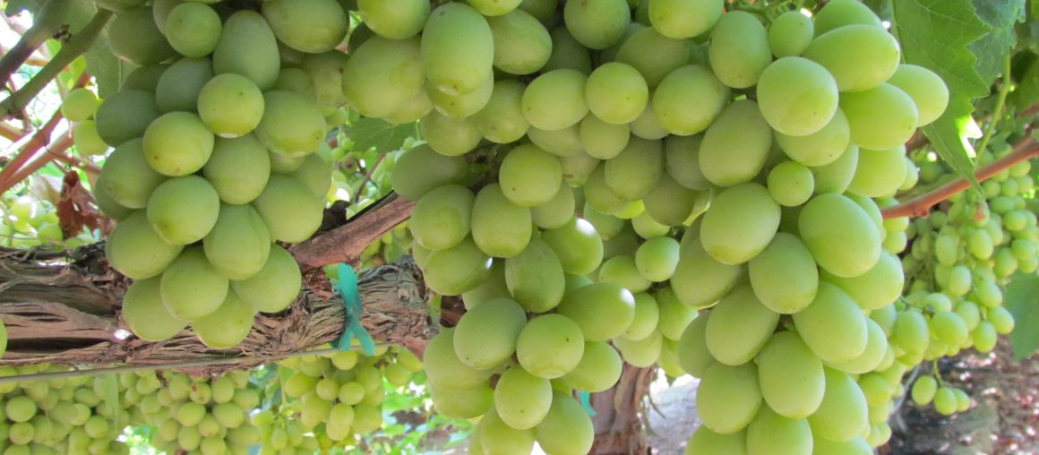 August Grape Newsletter