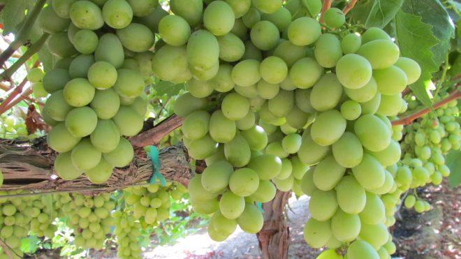 August Grape Newsletter