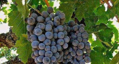 Our 2019 California Grape Season Is Underway